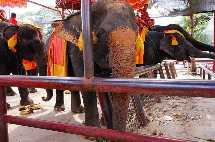 アユタヤの象乗り体験